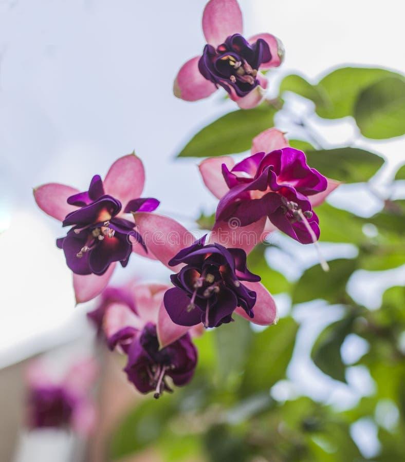 Ruas em Londres - flores de oscilação do rosa e as violetas fotografia de stock royalty free