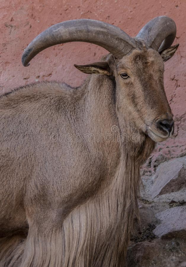 The arruí. The ruba, rumen or berberian ram Ammotragus lervia is a bovid of the subfamily Caprinae native to the rocky areas of the Sahara and the Maghreb, of royalty free stock photo