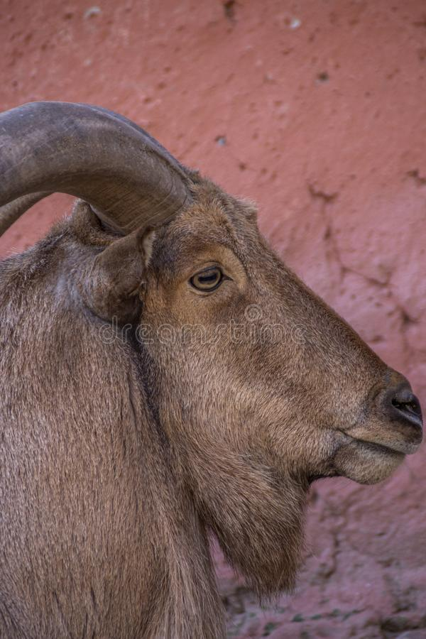 The arruí. The ruba, rumen or berberian ram Ammotragus lervia is a bovid of the subfamily Caprinae native to the rocky areas of the Sahara and the Maghreb, of royalty free stock photography