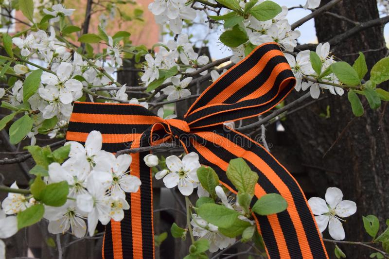 Ruban de St George sur un pommier de floraison Ressort de victoire Victorieux pouvez closeup 9 mai image stock