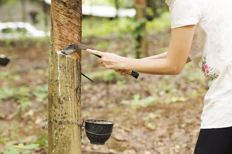 rubber knackande lätt på tree för latex royaltyfria foton