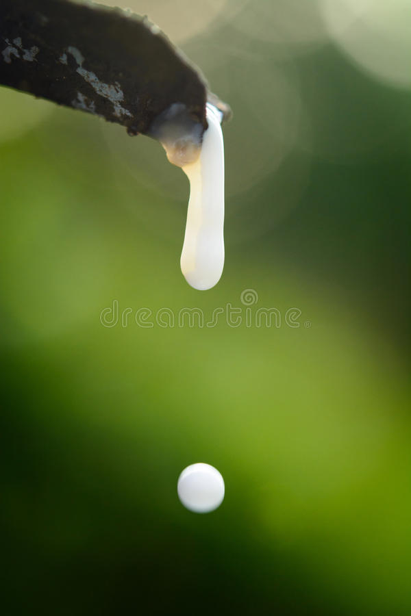 Rubber latex drop from a rubber tree royalty free stock image