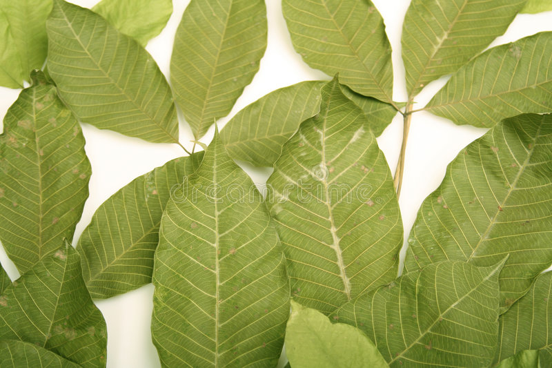 Rubber leaf stock photography