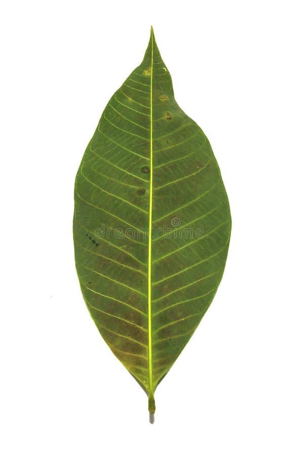Download Rubber leaves stock photo. Image of leaf, botany, botanical - 33533898