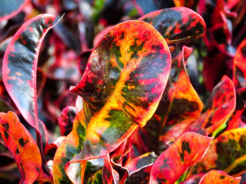 Rubber Plant Leaves Free Public Domain Cc0 Image