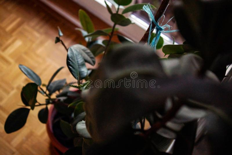 Rubber Plant Leaves. In detail stock photos