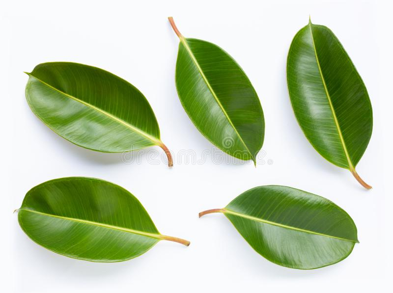 Rubber plant leaves on white background. Top view stock photography
