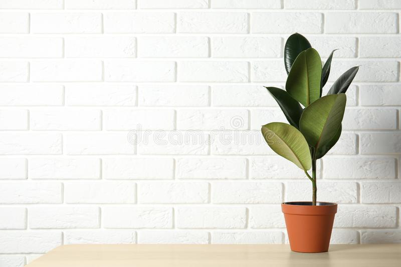 Rubber plant in pot on table near brick wall. Home decor. Rubber plant in pot on table near brick wall, space for text. Home decor royalty free stock photography