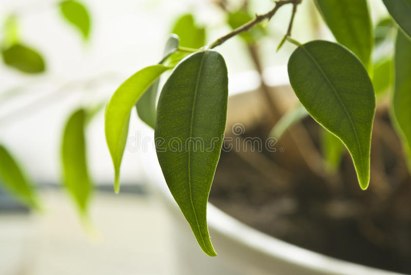 Rubber plant on the windowsill. Ficus white windowsill in a pot with the ground during daylight stock images