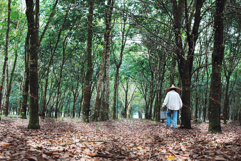 Rubber plantation stock images