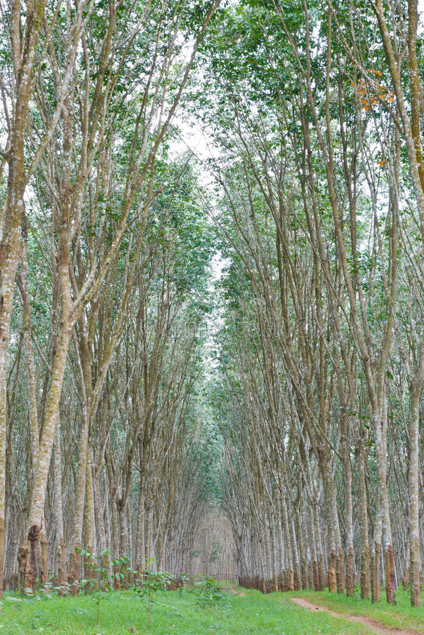 Rubber Plantation Royalty Free Stock Photography