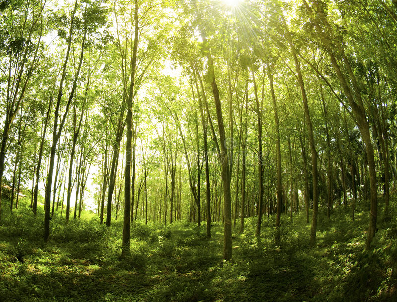 Rubber Plantation stock images