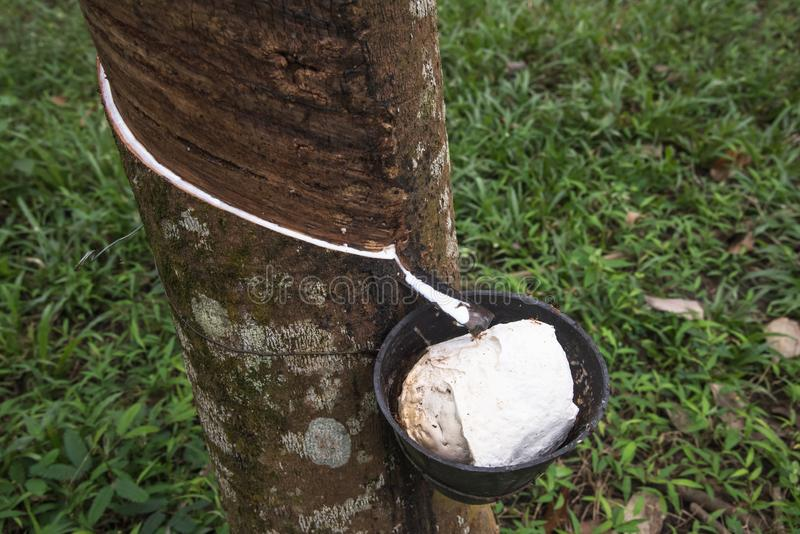 Rubber plantation in Langkawi, Malaysia stock images
