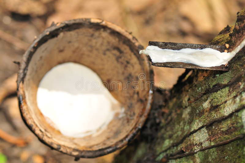 At a rubber plantation series stock images