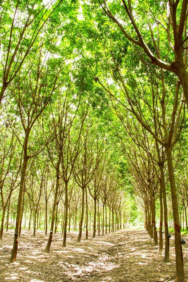 Download Rubber plantation stock photo. Image of harvesting, leaf - 33399674