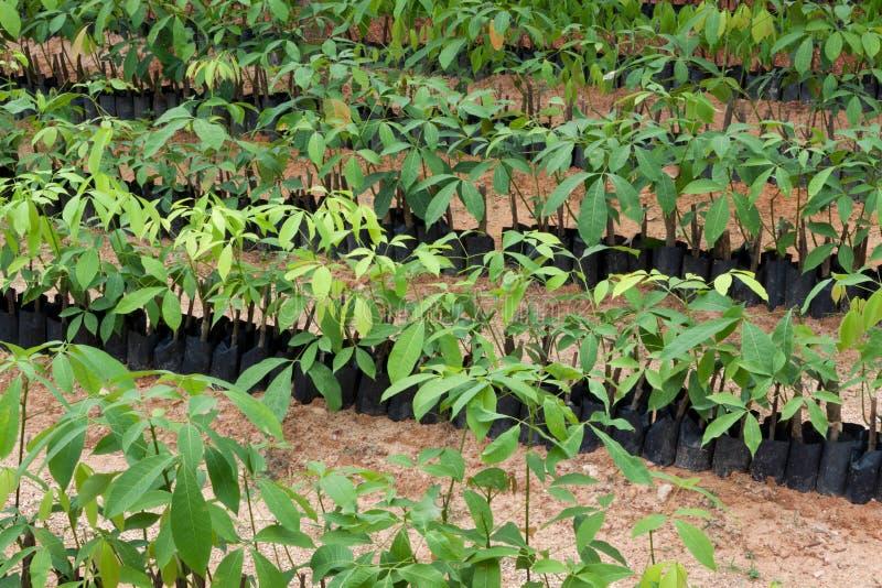 rubber plantatrees royaltyfria foton
