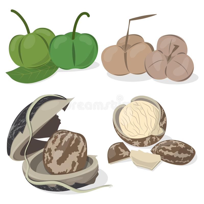 Set of Rubber Seeds. Rubber seed isolated on white background vector illustration. Seed of rubber tree with shell. Fresh and dried rubber fruits. Inside the seed stock illustration