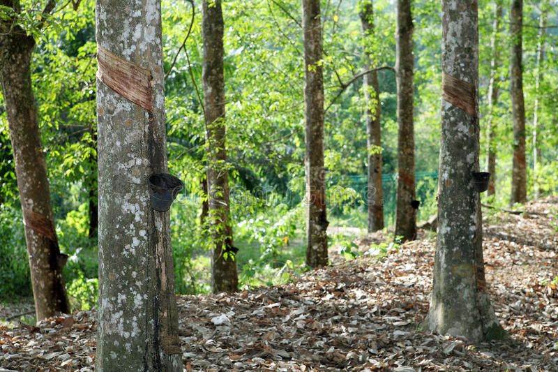 Rubber tree. In the Malaysian rubber tree. Gently cut tree bark stock image