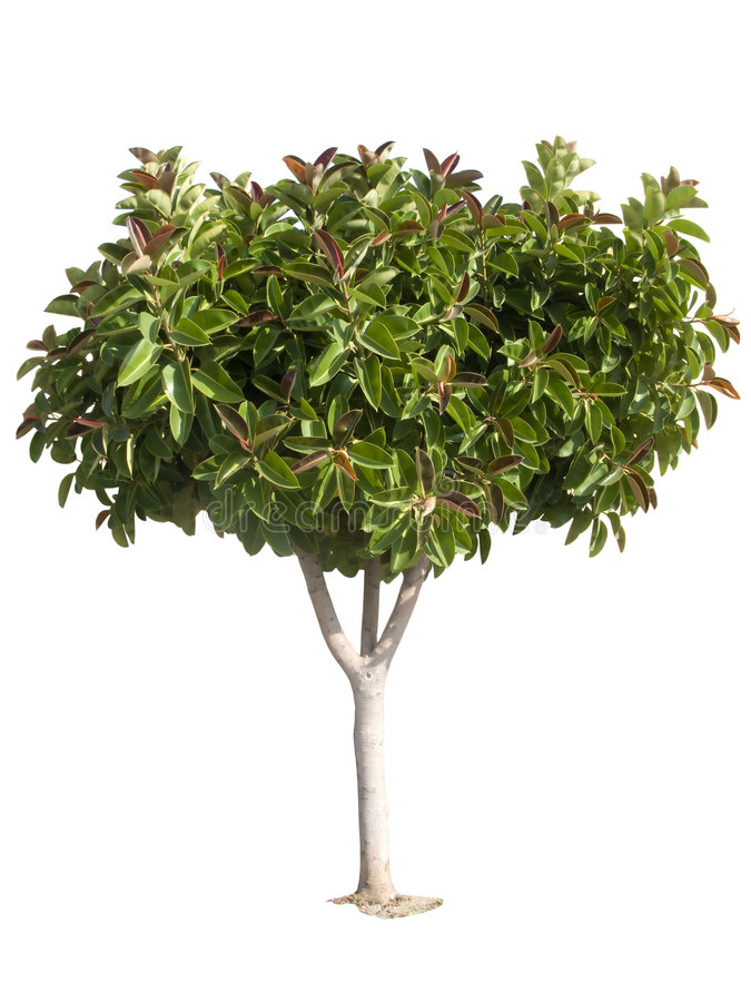 Free Rubber Tree Royalty Free Stock Image - 4341826