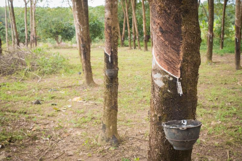 Rubber tree stock images