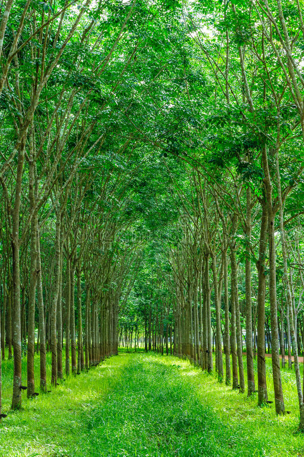 Rubber tree background royalty free stock photography
