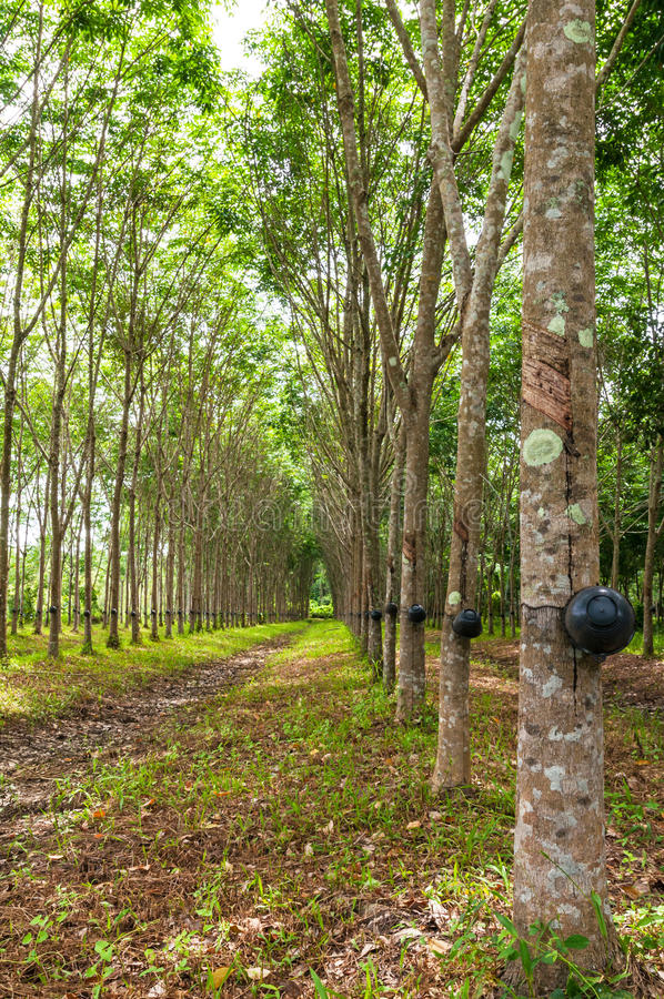 Rubber tree background royalty free stock photos