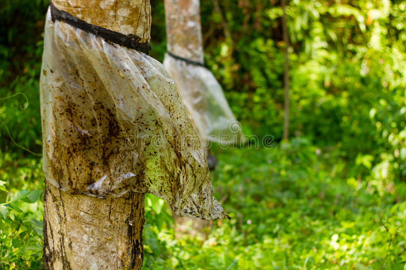 Rubber Tree Close-Up stock image