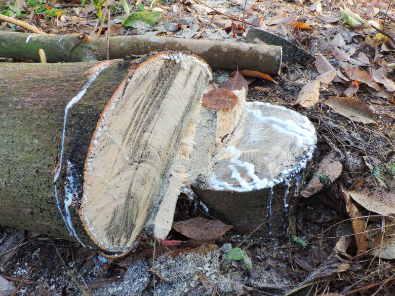 The rubber tree is cut because of falling prices royalty free stock photography