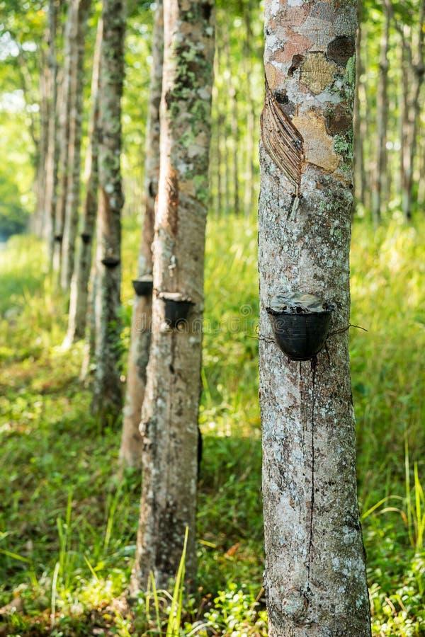rubber tree för koloni arkivbilder