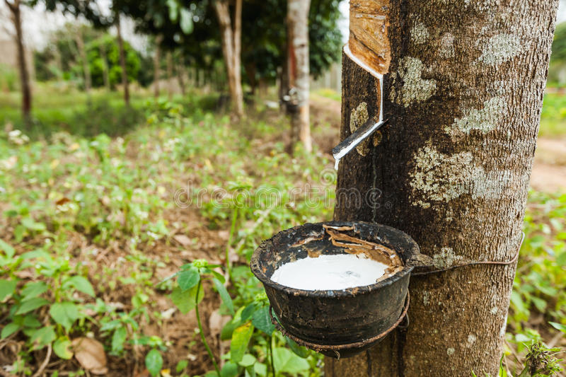 rubber tree för latexproducent royaltyfria bilder