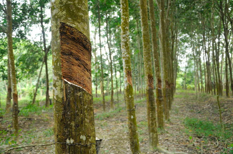 Rubber Tree or Hevea brasiliensis plantation in Malacca, Malaysia royalty free stock image