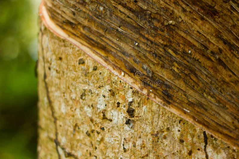 Rubber Tree juice Close-Up royalty free stock photos
