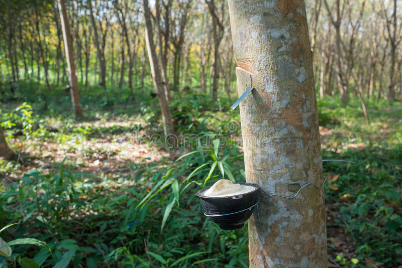 Rubber tree plantation, Thailand stock photography