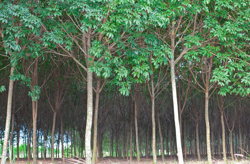 Rubber Tree Rain Forest Stock Image Image Of Landscape