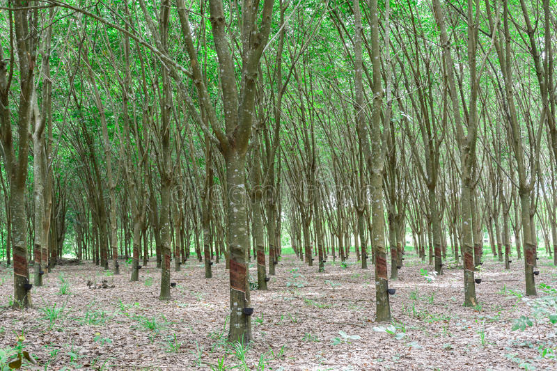 Rubber tree row agricultural. Green leaves background and sun light royalty free stock images