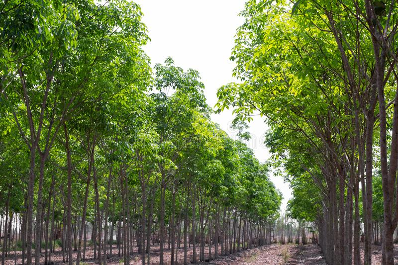 Rubber Tree Stock Photos Download 11 614 Royalty Free Photos