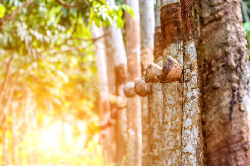Rubber tree in row at a rubber tree plantation stock image