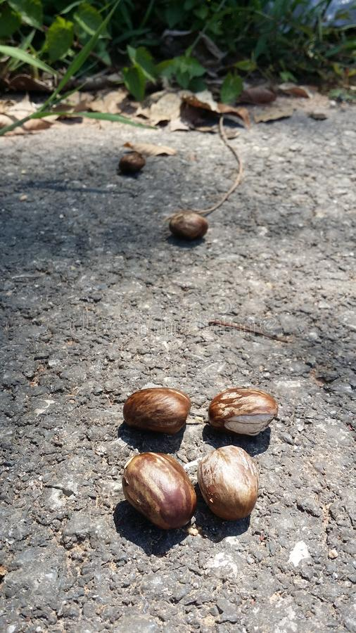 Rubber tree seeds. royalty free stock photo