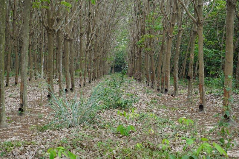 Rubber trees stock afbeeldingen