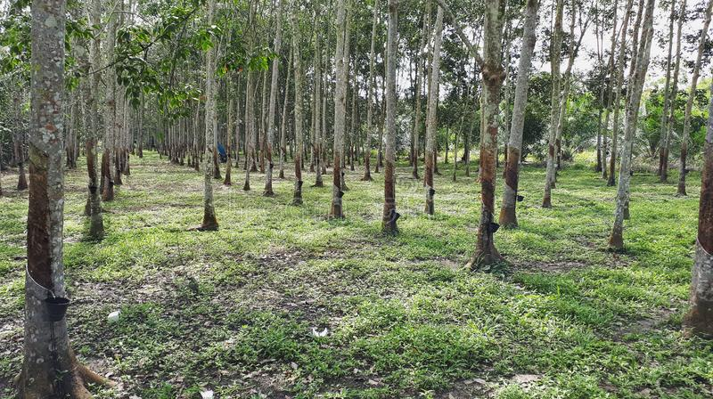 Rubber trees plantation or caoutchouc. View of rows of rubber trees in a farm during daytime. Malaysia also main exporter in rubber industries royalty free stock images