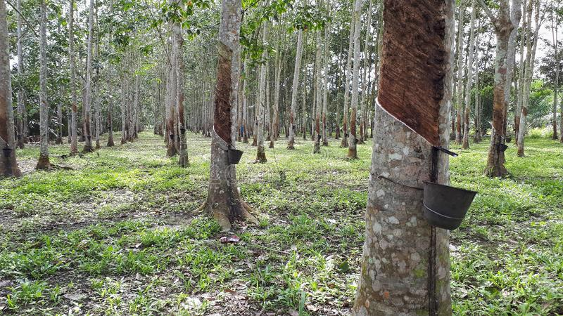 Rubber trees plantation or caoutchouc. View of rows of rubber trees in a farm during daytime. Malaysia also main exporter in rubber industries stock photography