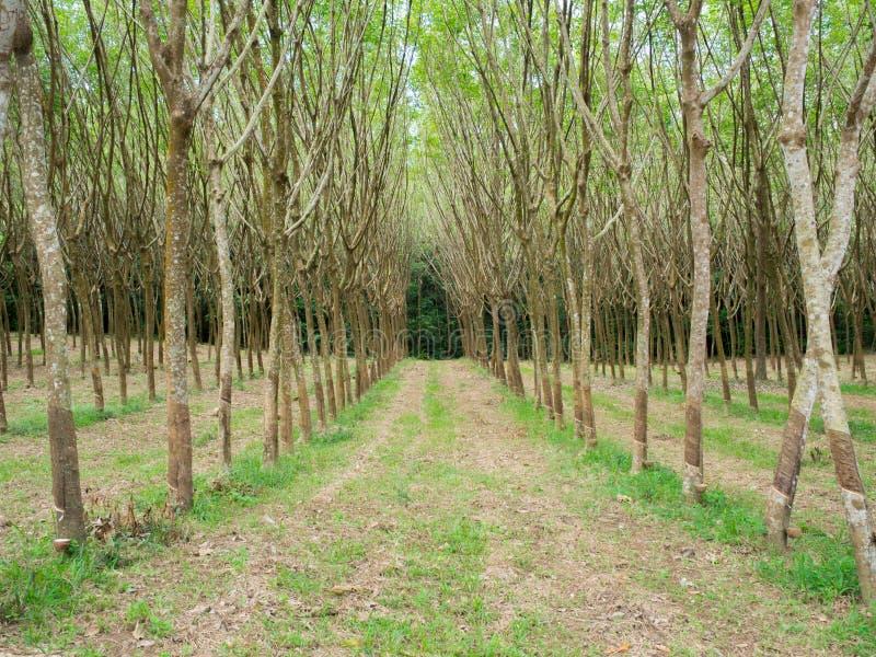 Rubberaanplanting in de ochtend royalty-vrije stock foto's