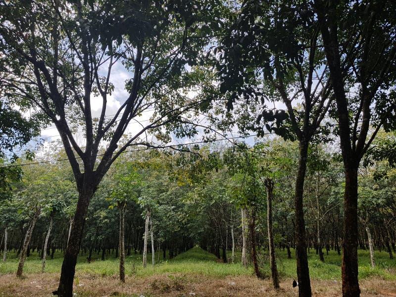Rubberaanplanting in Kambodja royalty-vrije stock afbeelding