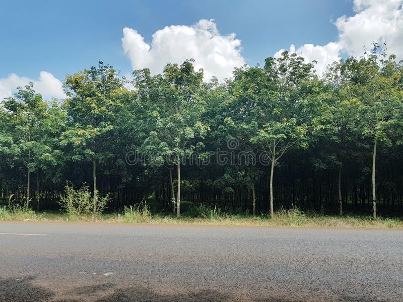Rubberaanplanting in Kambodja stock foto's