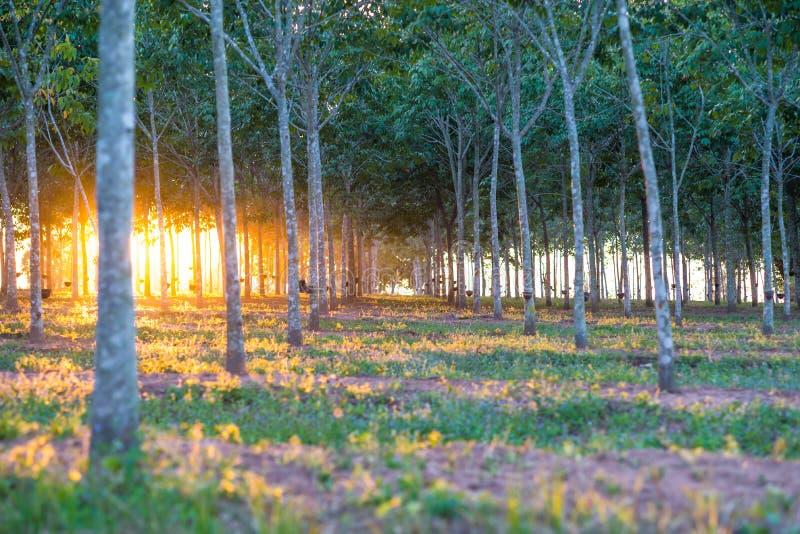 Rubberaanplanting met lichte zonsondergang op Achtergrond royalty-vrije stock foto