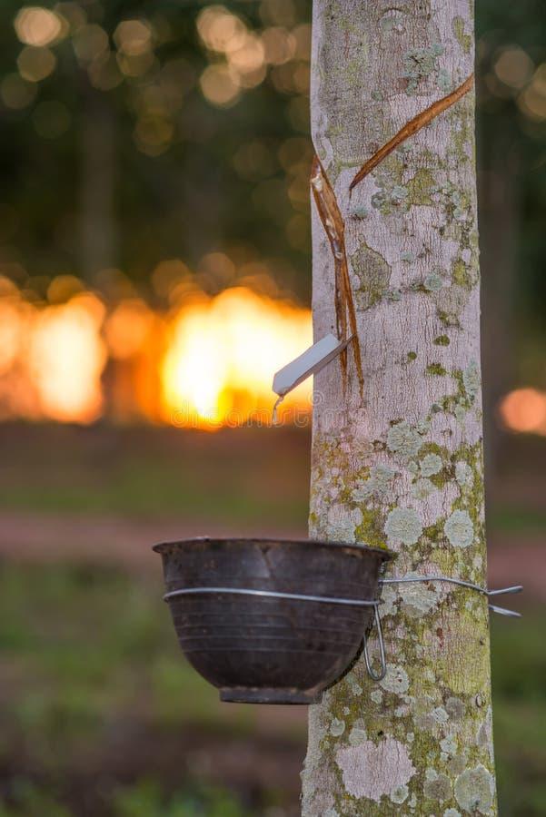Rubberaanplanting met lichte zonsondergang op Achtergrond royalty-vrije stock fotografie