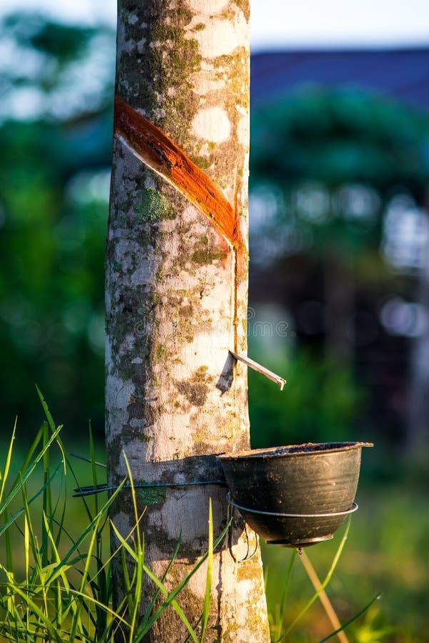 Rubberaanplanting met lichte zonsondergang op Achtergrond stock fotografie