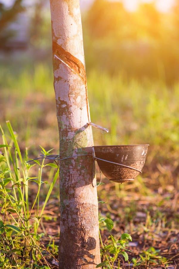 Rubberaanplanting met lichte zonsondergang op Achtergrond royalty-vrije stock foto's