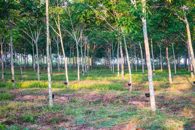 Rubberaanplanting met lichte zonsondergang op Achtergrond stock afbeelding