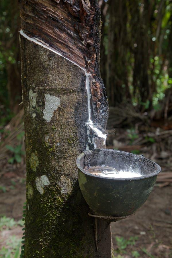 Rubberboom stock afbeelding